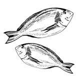 Pesce disegnato a mano di Dorado di schizzo Immagine Stock Libera da Diritti
