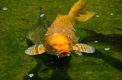 Pesce domestico carpa-decorativo del broccato, più precisamente, o della carpa a specchi derivato dalla sottospecie dell'Amur del fotografie stock libere da diritti