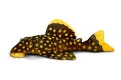 Pesce dorato dell'acquario di xanthellus di Plecostomus L-018 Baryancistrus del pesce gatto di pleco della pepita Fotografia Stock