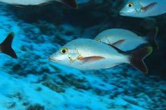 Pesce a dorso d'asino del dentice Fotografia Stock