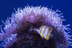 Pesce e anemone della farfalla fotografia stock