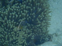 Pesce e anemone di mare Immagini Stock Libere da Diritti