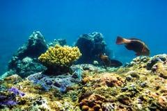Pesce e coralli colorati nell'oceano Pacifico Immagine Stock