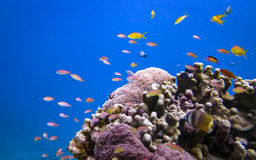Pesce e corallo Fotografia Stock Libera da Diritti