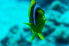 Pesce e corallo: Pesci angelo del procione del Mar Rosso su una barriera corallina immagine stock libera da diritti