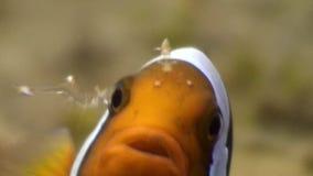 Pesce e gamberetto del pagliaccio sul fondo sabbioso in chiara acqua pulita dell'oceano Filippine video d archivio