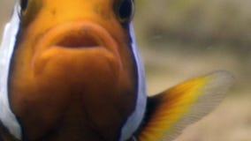 Pesce e gamberetto del pagliaccio sul fondo sabbioso in chiara acqua pulita dell'oceano Filippine archivi video