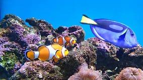 Pesce ed altri del pagliaccio stock footage