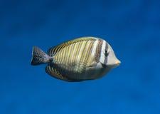 Pesce esotico nell'acqua fotografie stock libere da diritti