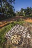 Pesce esterno dell'essiccazione nel bacino idrico di Minneriya, Sri Lanka Immagine Stock