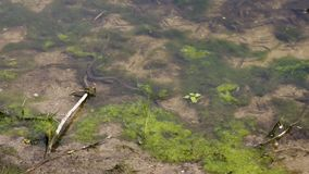 Pesce europeo di caccia del natrix del Natrix del serpente di erba vicino alla riva del lago closeup archivi video