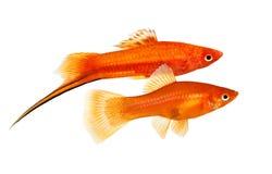 Pesce femminile maschio dell'acquario di Swordtail di paia del Helleri rosso di Xiphophorus isolato su bianco immagine stock libera da diritti