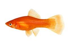 Pesce femminile rosso dell'acquario del Helleri di Swordtail Xiphophorus isolato su bianco fotografia stock