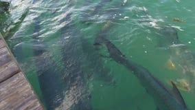Pesce Florida S.U.A. del tarpoon dell'oceano di giorno soleggiato di Islamorada grande archivi video