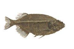 Pesce fossile isolato. fotografia stock