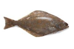 Pesce fresco dell'halibut Fotografia Stock Libera da Diritti