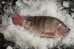 Pesce fresco di Nilotica del pesce del mango di tilapia di Nilo su ghiaccio e sul BAC nero Fotografie Stock Libere da Diritti
