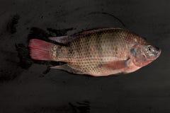 Pesce fresco di Nilotica del pesce del mango di tilapia di Nilo su fondo nero Immagini Stock