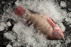 Pesce fresco di Nilotica del pesce del mango di tilapia di Nilo su ghiaccio e sul BAC nero Immagine Stock Libera da Diritti