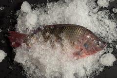 Pesce fresco di Nilotica del pesce del mango di tilapia di Nilo su ghiaccio e sul BAC nero Immagine Stock