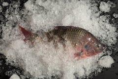 Pesce fresco di Nilotica del pesce del mango di tilapia di Nilo su ghiaccio e sul BAC nero Immagini Stock Libere da Diritti
