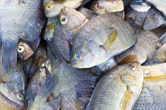 Pesce fresco di tilapia Immagine Stock