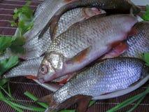 Pesce fresco pescato nel lago su un piatto immagine stock