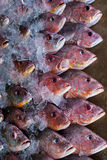 Pesce fresco su ghiaccio Fotografie Stock