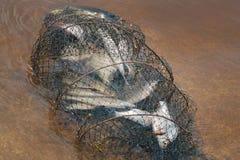 Pesce in gabbia per la pesca - fermo del fiume Immagini Stock Libere da Diritti