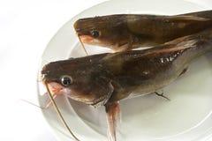 Pesce gatto Immagini Stock