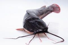 Pesce gatto Immagine Stock Libera da Diritti