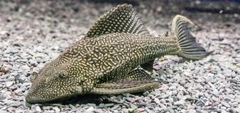 Pesce gatto Ancistrus Plecostomus fotografia stock