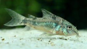 Pesce gatto corazzato di Pepperd Immagini Stock Libere da Diritti