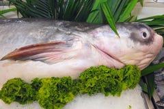 Pesce gatto del gigante del Mekong Fotografia Stock Libera da Diritti