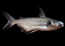 pesce gatto del gigante di prhaya di chao Immagine Stock Libera da Diritti