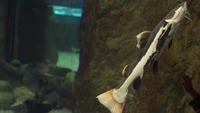 Pesce gatto del Redtail in video d'acqua dolce del metraggio delle azione dell'acquario video d archivio