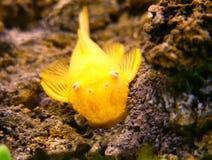 Pesce gatto dell'oro Fotografia Stock