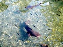 Pesce gatto 2010 di Yardenit Immagini Stock Libere da Diritti