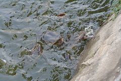 Pesce gatto gigante affamato in acqua immagini stock libere da diritti