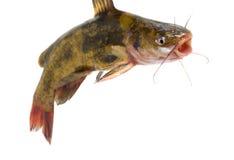 Pesce gatto isolato su bianco Fotografia Stock Libera da Diritti