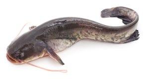 Pesce gatto selvaggio Fotografie Stock Libere da Diritti