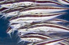 Pesce gatto a strisce Immagini Stock