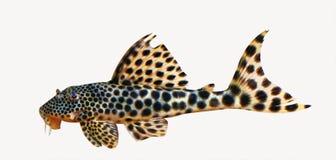 Pesce gatto macchiato acquario fotografie stock libere da for Pesce gatto acquario