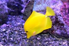 Pesce giallo immagine stock