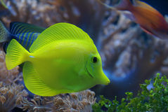 Pesce giallo Immagini Stock