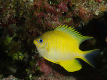 Pesce giallo immagine stock libera da diritti