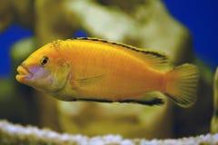 Pesce giallo Fotografie Stock