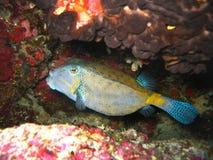 Pesce giallo-blu tropicale fra i coralli variopinti in natura in oceano Pacifico immagine stock