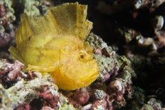 Pesce giallo della foglia a Cebu Fotografie Stock