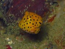 Pesce giallo della scatola Immagini Stock